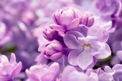 Il lillà fiorisce il ramo Immagine Stock Libera da Diritti