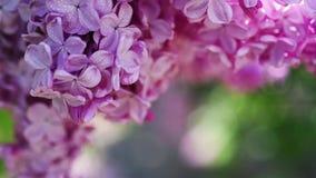 Il lillà fiorisce la priorità bassa stock footage