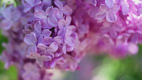 Il lillà fiorisce la priorità bassa video d archivio