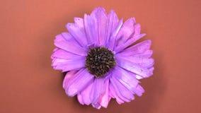 Il lillà ha colorato il fiore dell'universo che fila lentamente su un fondo marrone girante video d archivio