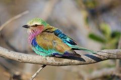 Il lillà breasted il rullo - simbolo di pace in Africa Fotografie Stock