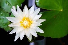 Il lilyLotus e le foglie dell'acqua bianca Fotografia Stock