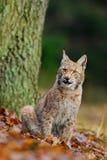 Il lince, gatto selvaggio che si siede sull'arancia lascia nell'habitat della foresta Immagini Stock