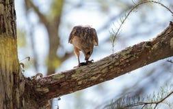 Il lineatus messo rosso di Hawk Buteo cerca per la preda e mangia Fotografia Stock