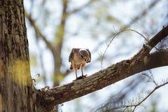 Il lineatus messo rosso di Hawk Buteo cerca per la preda e mangia Immagine Stock