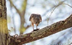 Il lineatus messo rosso di Hawk Buteo cerca per la preda e mangia Immagine Stock Libera da Diritti