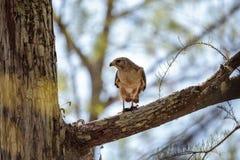 Il lineatus messo rosso di Hawk Buteo cerca per la preda e mangia Fotografie Stock