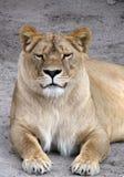 Il lioness Fotografia Stock