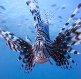 Il lionfish Fotografia Stock