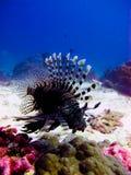 Il lionfish Fotografie Stock