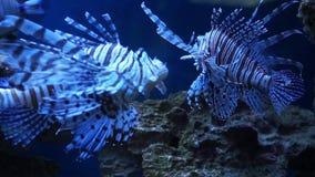 Il Lionfish nuota in acqua blu FullHD video d archivio