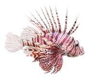 Il Lionfish rosso (volitans del Pterois). Immagine Stock