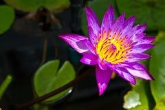 Il loto è viola Fotografia Stock