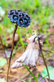 Il loto asciutto semina il primo piano Immagini Stock