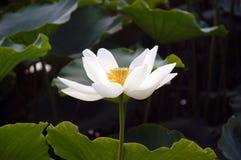 Il loto bianco Fotografia Stock Libera da Diritti
