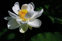 Il loto bianco Fotografie Stock Libere da Diritti
