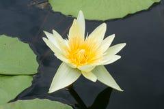 Il loto giallo di Beautyful è palude. Fotografia Stock