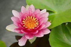 Il loto nella fioritura del fiore è molto bello fotografia stock