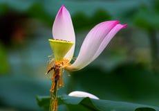 Il loto rosa è un fiore dell'acqua Immagine Stock