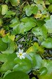 Il loto verde lascia in stagno acquoso, fuoco selettivo Immagine Stock