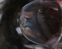 Il luccio del pesce di acqua dolce nel bello pulisce la libbra Colpo subacqueo con bacground piacevole e luce naturale Anima selv immagini stock libere da diritti