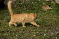 Il lui-gatto Fotografie Stock