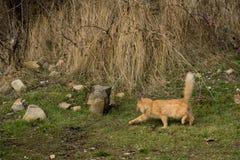 Il lui-gatto Fotografia Stock