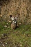 Il lui-gatto Immagini Stock Libere da Diritti