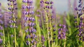 Il lupino di fioritura fiorisce, lupini sul campo, fiori di fioritura di porpora Fine in su stock footage