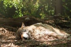 Il lupo Fotografia Stock
