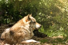 Il lupo Fotografie Stock
