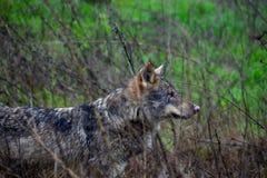 Il lupo bianco di Nouse nella natura fotografia stock libera da diritti