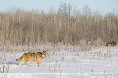 Il lupo comune sopra vaga in cerca di preda per la preda Fotografie Stock Libere da Diritti