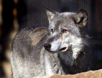 Il lupo di legname osserva il a sinistra Fotografia Stock Libera da Diritti