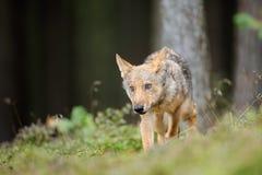 Il lupo in foresta dentro obbedisce alla posizione dalla facciata frontale Immagini Stock Libere da Diritti