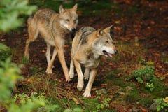 Il lupo grigio o lupo grigio, canis lupus Fotografie Stock Libere da Diritti