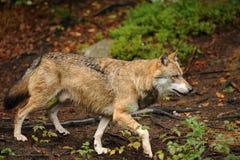 Il lupo grigio o lupo grigio, canis lupus Fotografie Stock