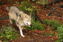 Il lupo grigio o lupo grigio, canis lupus Fotografia Stock Libera da Diritti