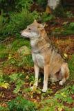 Il lupo grigio o lupo grigio, canis lupus Fotografia Stock