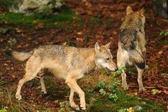 Il lupo grigio o lupo grigio, canis lupus Immagine Stock
