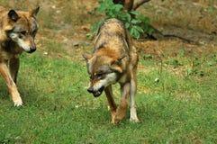 Il lupo grigio o lupo grigio, canis lupus Immagini Stock Libere da Diritti