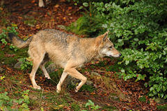 Il lupo grigio o lupo grigio, canis lupus Immagine Stock Libera da Diritti