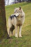 Il lupo si leva in piedi vicino all'albero Fotografie Stock Libere da Diritti