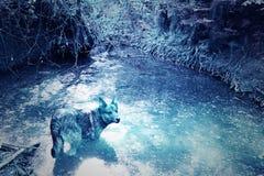Il lupo va sognare Immagine Stock