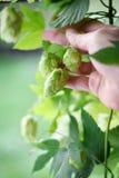 Il luppolo fiorisce i coni e la mano Fotografia Stock