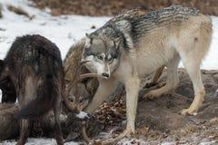 Il lupus di Grey Wolf Canis annusa i cervi dalla coda bianca Antler immagine stock libera da diritti