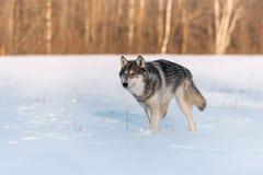Il lupus di Grey Wolf Canis funziona a sinistra Fotografie Stock