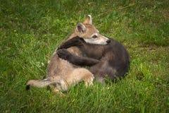Il lupus di Grey Wolf Pups Canis dentro serra Immagine Stock