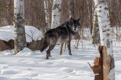 Il lupus nero di Grey Wolf Canis di fase guarda indietro sopra la spalla Fotografia Stock