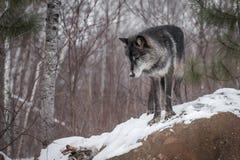 Il lupus nero di Grey Wolf Canis di fase osserva chiuso in cima a roccia Fotografia Stock Libera da Diritti
